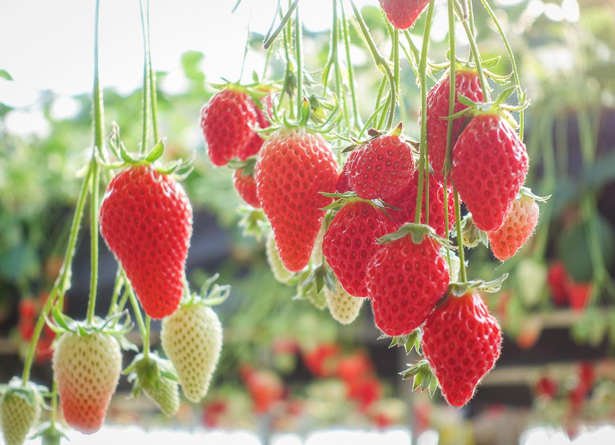 [茨城景點]セツコの苺-草莓控必來!30分鐘採草莓吃到飽~酸甜戀愛味的紅臉頰草莓