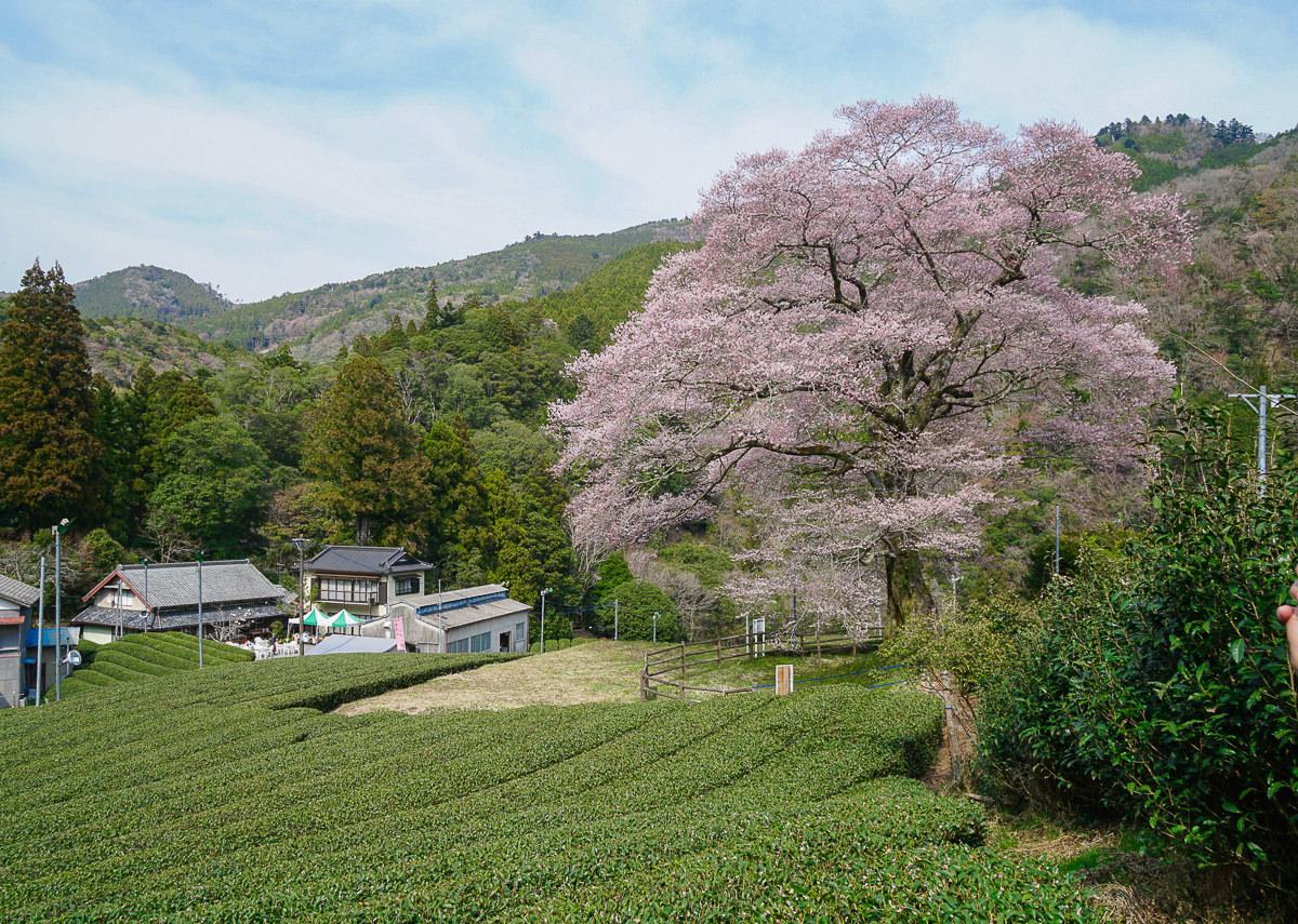[靜岡旅遊]牛代水目櫻-靜岡賞櫻絕景!矗立在茶園的百年粉色櫻花樹