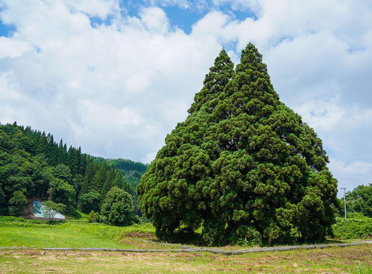 [山形景點]龍貓迷必朝聖~山形超萌龍貓樹「トトロの木」小杉の大杉