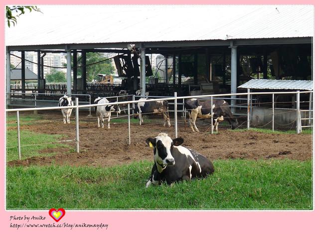 【夏❤台中輕旅行】與牛兒的午後約會。東海大學