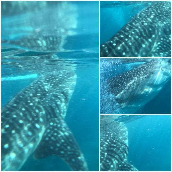 鯨鯊共遊好刺激-9
