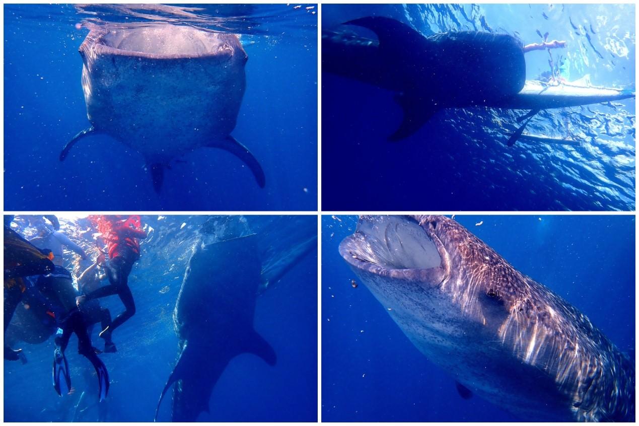 宿霧小天使在奧斯陸與鯨鯊相遇