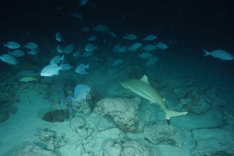馬爾地夫,居民島,Thinadhoo,提納度,護士鯊,夜間浮潛