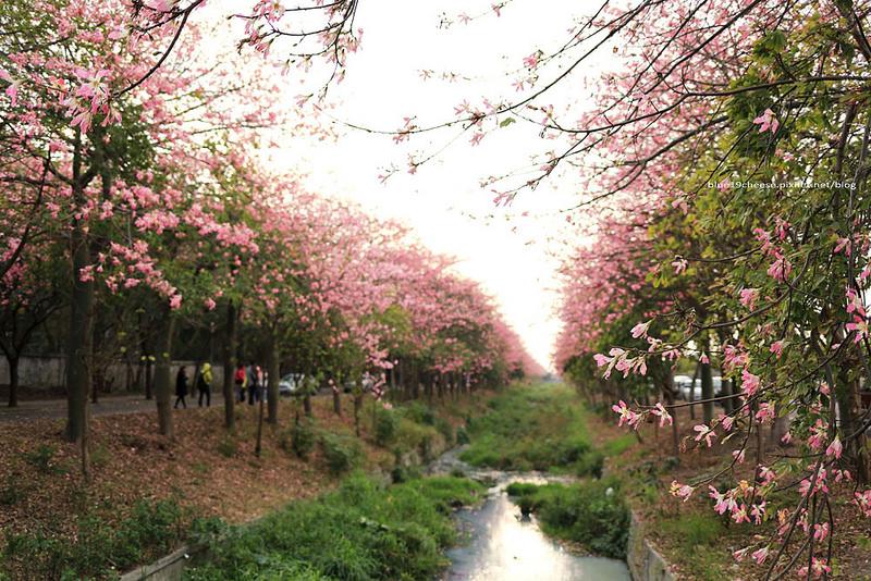 【雲林虎尾】美人樹大道 – 庭園佳麗美人櫻.粉嫩盛開超浪漫景色.近建成路高鐵特區農博公園