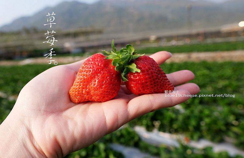 【南投國姓】双福大型觀光草莓園-草莓季.假日可以不用塞車跑大湖採草莓.南投國姓也可以採草莓.2/19草莓狀況不錯.滿多可以採的
