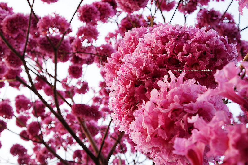 【台中西區】美術綠園道洋紅風鈴木-粉紅色繡球花般的風鈴木.像是一朵朵開美肌的棉花糖球.花團錦簇.飄下浪漫的花雨阿.假日親子遊.南瓜屋和桃花源餐廳前方