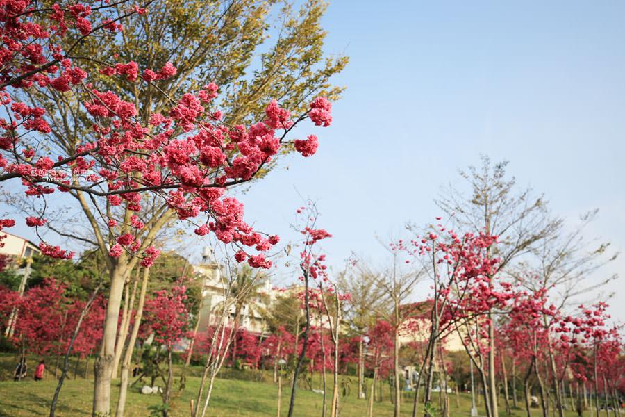 20180222011346 54 - 東勢河濱公園-對面小公園櫻花盛開