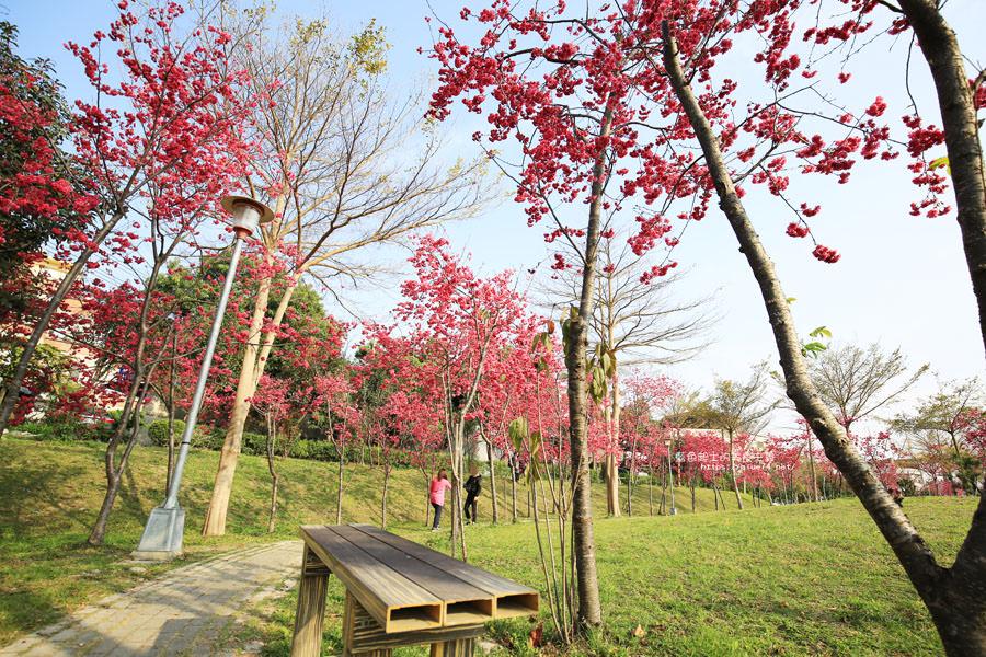 20180222011347 70 - 東勢河濱公園-對面小公園櫻花盛開