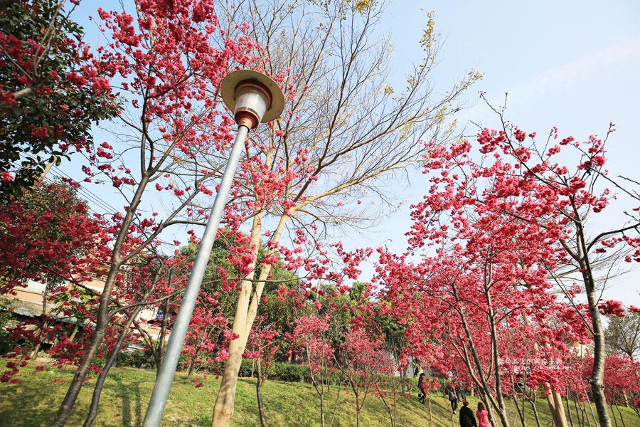 20180222011349 42 - 東勢河濱公園-對面小公園櫻花盛開