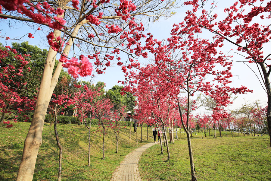 20180222011350 28 - 東勢河濱公園-對面小公園櫻花盛開