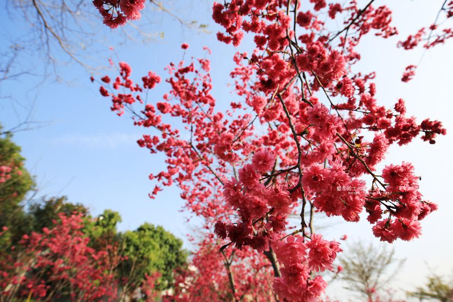 20180222011353 68 - 東勢河濱公園-對面小公園櫻花盛開