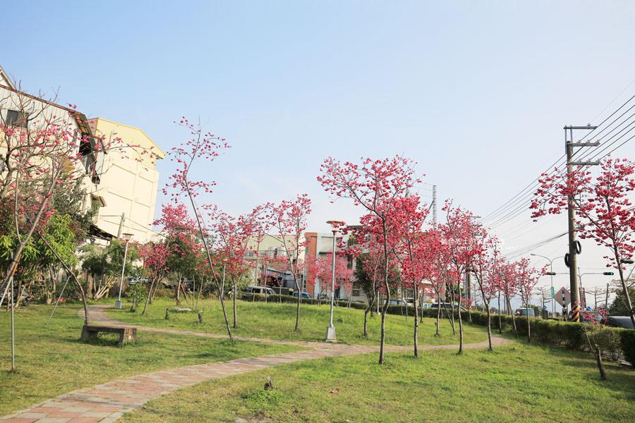 20180222011357 24 - 東勢河濱公園-對面小公園櫻花盛開