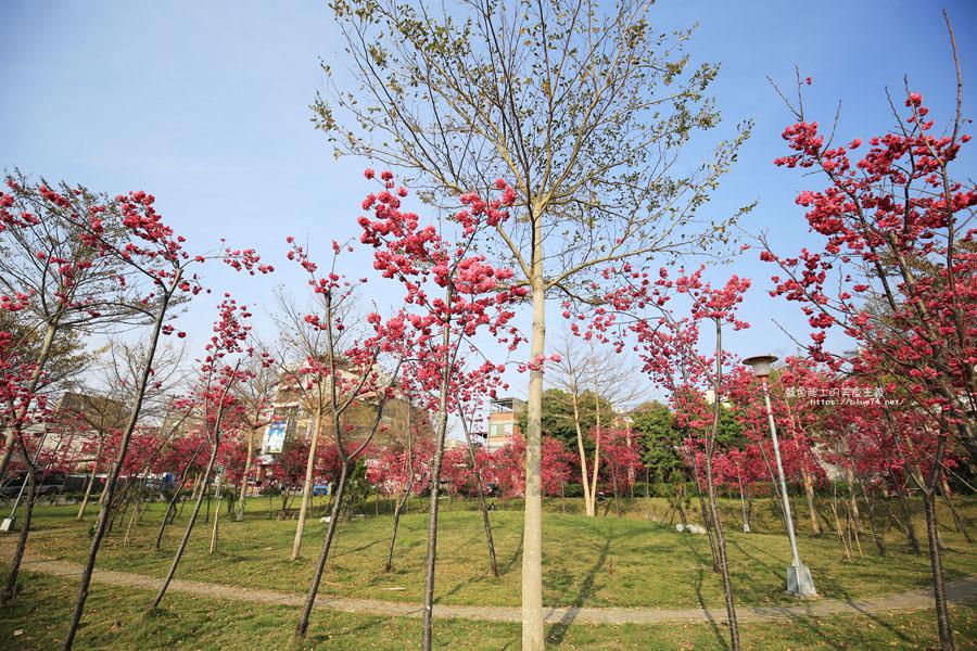 20180222011401 55 - 東勢河濱公園-對面小公園櫻花盛開