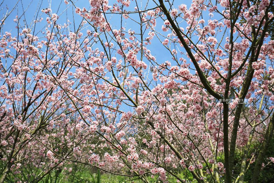 20180222013252 2 - 沐心泉休閒農場-來沐心泉被滿滿的盛開櫻花包圍吧