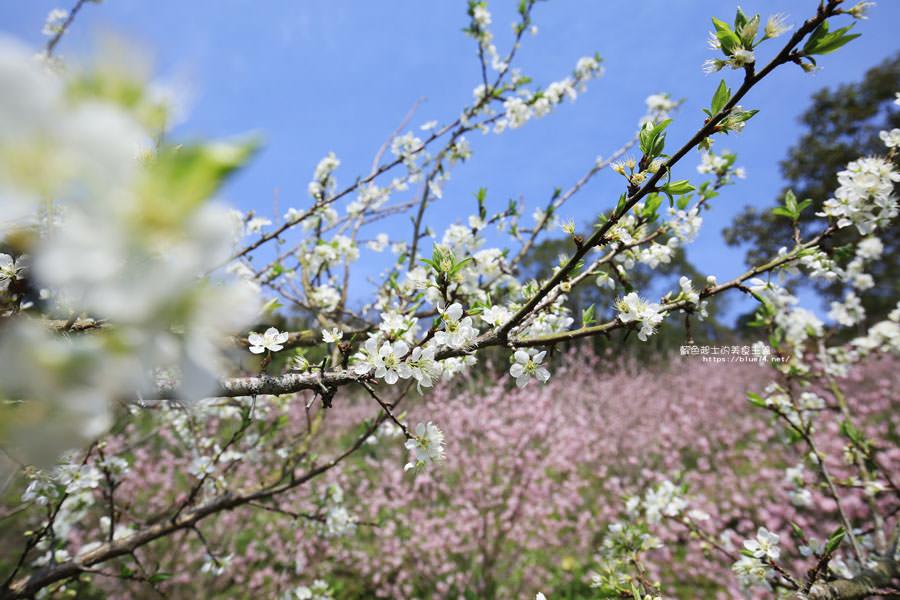 20180222013256 32 - 沐心泉休閒農場-來沐心泉被滿滿的盛開櫻花包圍吧