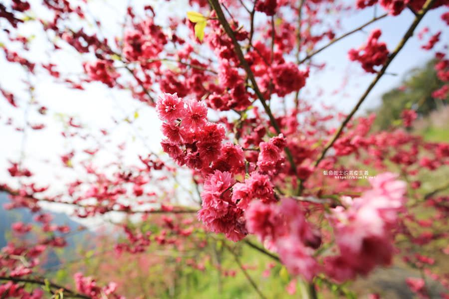 20180222013302 26 - 沐心泉休閒農場-來沐心泉被滿滿的盛開櫻花包圍吧