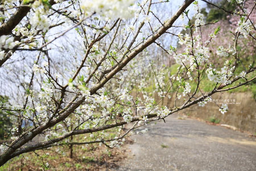 20180222013304 77 - 沐心泉休閒農場-來沐心泉被滿滿的盛開櫻花包圍吧