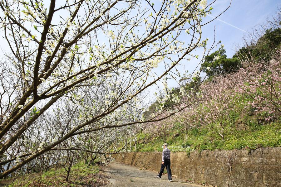 20180222013306 93 - 沐心泉休閒農場-來沐心泉被滿滿的盛開櫻花包圍吧