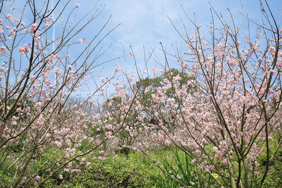 20180222013308 6 - 沐心泉休閒農場-來沐心泉被滿滿的盛開櫻花包圍吧