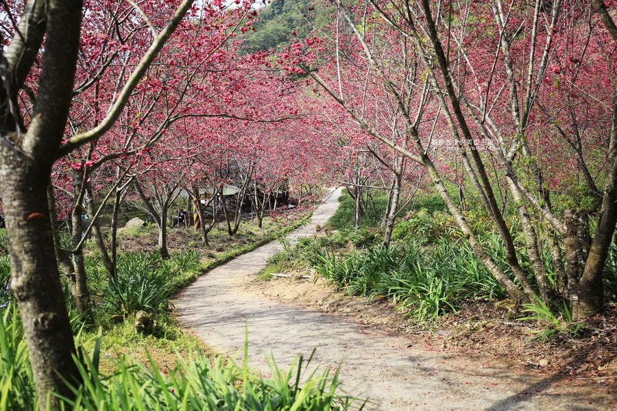 20180222013310 96 - 沐心泉休閒農場-來沐心泉被滿滿的盛開櫻花包圍吧