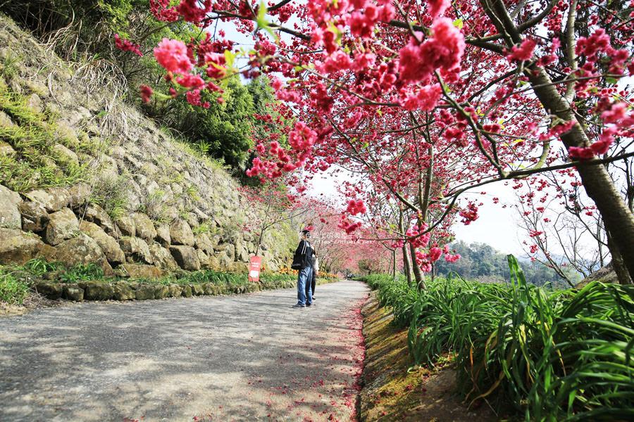 20180222013312 32 - 沐心泉休閒農場-來沐心泉被滿滿的盛開櫻花包圍吧