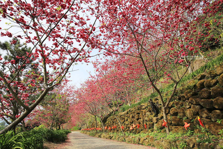20180222013314 60 - 沐心泉休閒農場-來沐心泉被滿滿的盛開櫻花包圍吧