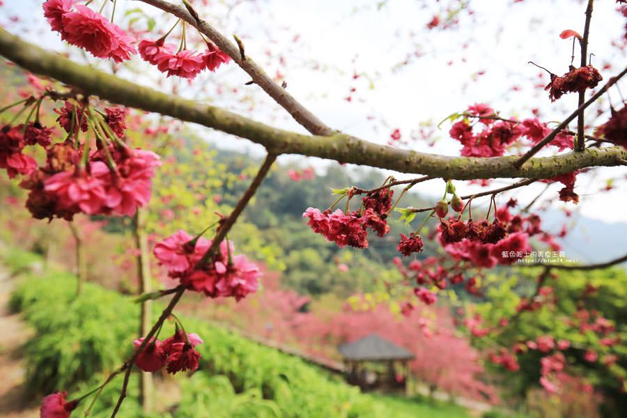 20180222013316 16 - 沐心泉休閒農場-來沐心泉被滿滿的盛開櫻花包圍吧