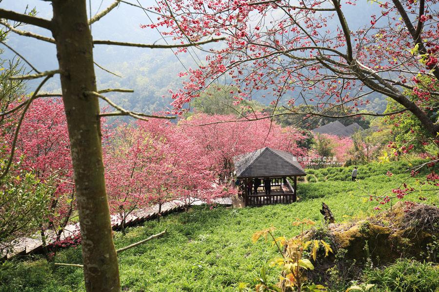 20180222013327 6 - 沐心泉休閒農場-來沐心泉被滿滿的盛開櫻花包圍吧