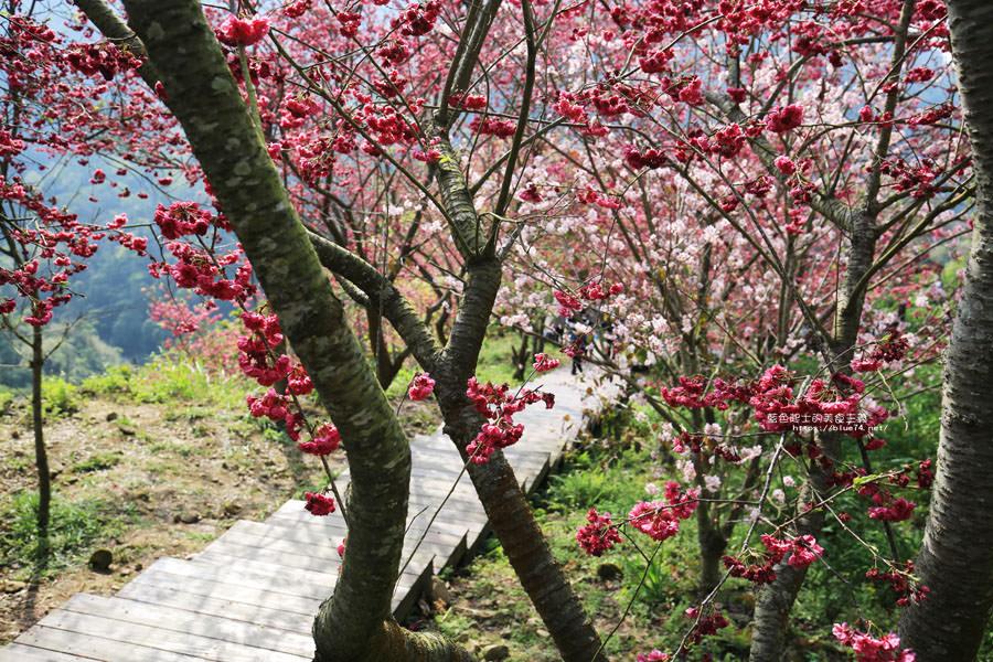 20180222013328 24 - 沐心泉休閒農場-來沐心泉被滿滿的盛開櫻花包圍吧