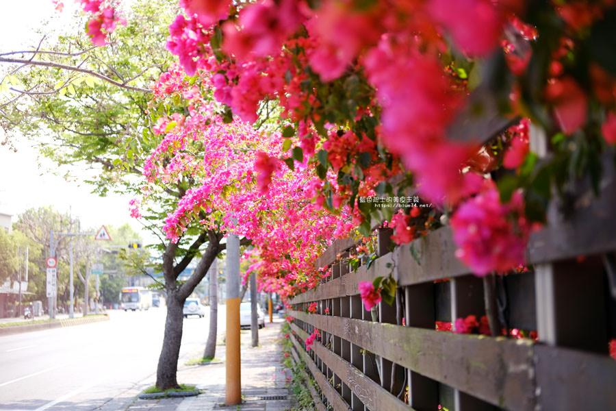 20180317000423 52 - 桃紅浪漫九重葛花牆點綴了公車站.等車也很唯美