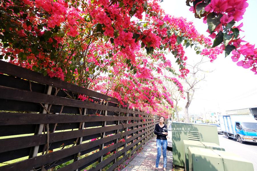 20180317005250 4 - 桃紅浪漫九重葛花牆點綴了公車站.等車也很唯美