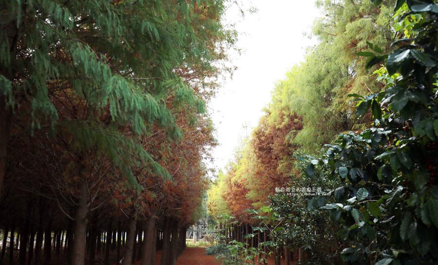 20181120231021 58 - 新社水井落羽松森林-整齊乾淨落羽松林,已鋪上落葉紅毯