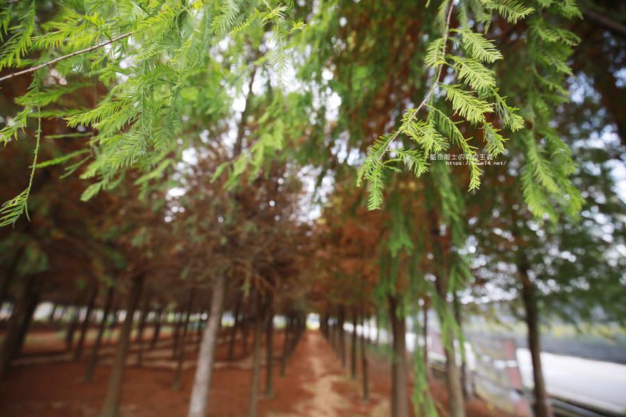 20181120231034 53 - 新社水井落羽松森林-整齊乾淨落羽松林,已鋪上落葉紅毯