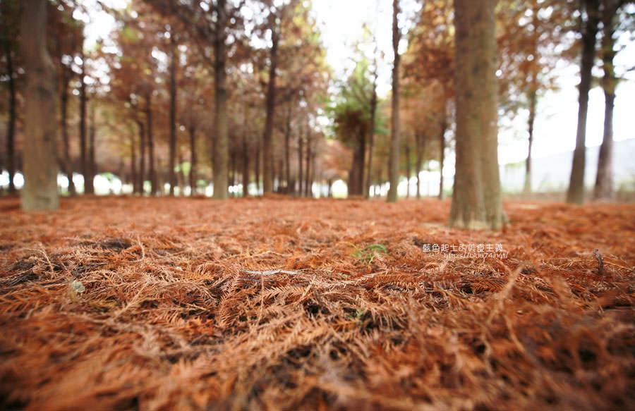 20181120231048 60 - 新社水井落羽松森林-整齊乾淨落羽松林,已鋪上落葉紅毯