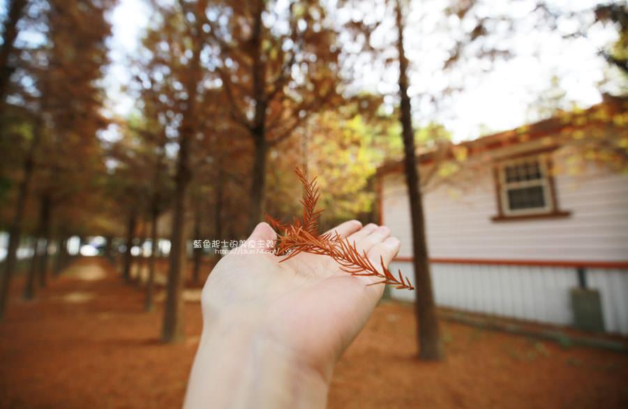 20181120231106 62 - 新社水井落羽松森林-整齊乾淨落羽松林,已鋪上落葉紅毯