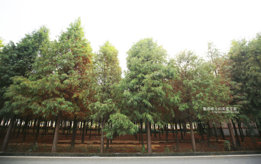 20181120231110 78 - 新社水井落羽松森林-整齊乾淨落羽松林,已鋪上落葉紅毯