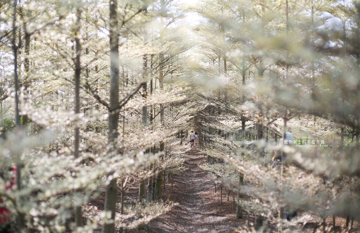 彰化田尾│小葉欖仁森林-彰化爆紅IG拍照打卡熱門景點,夢幻銀白美景