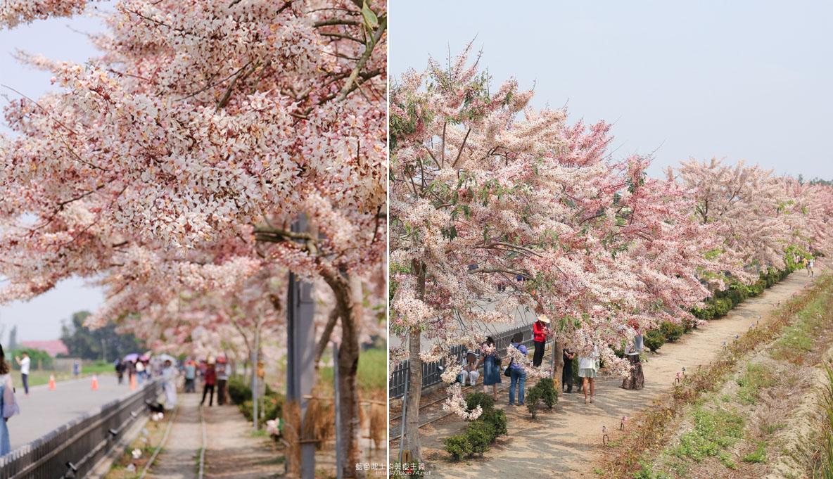 台南西港│金砂花旗木步道-浪漫粉紅步道,平地櫻花之花旗木大盛開