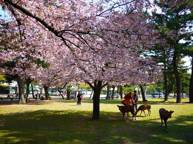 【13 春遊.櫻之關西 】- DAY3 走吧~一起到奈良玩鹿去 @ 奈良公園/興福寺