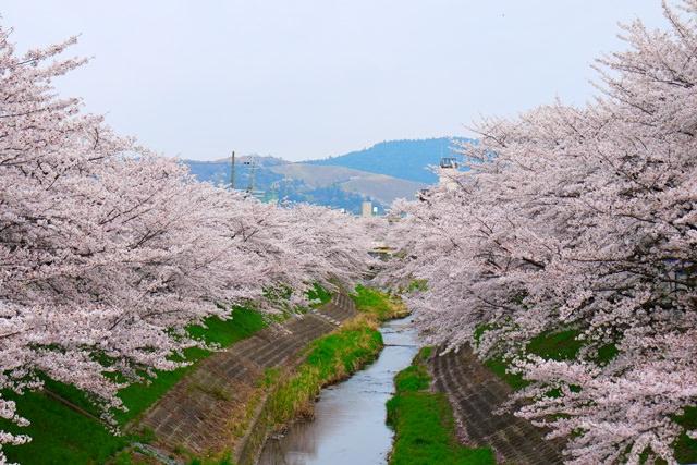 【13 春遊.櫻之關西 】- DAY3 奈良的賞櫻祕境 @ 佐保川