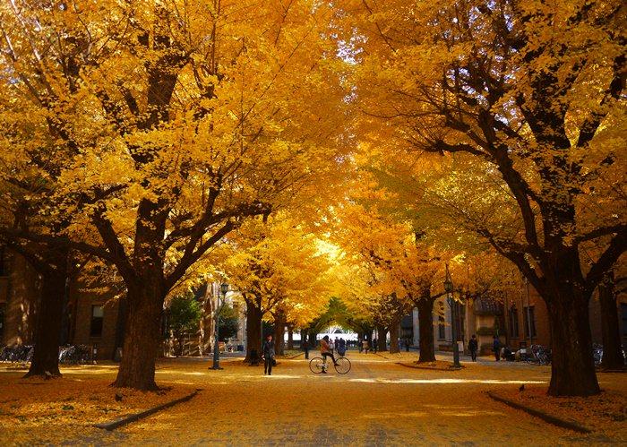 【13 秋日.楓遊東京 】- 美到犯規的銀杏並木大道。東京大學