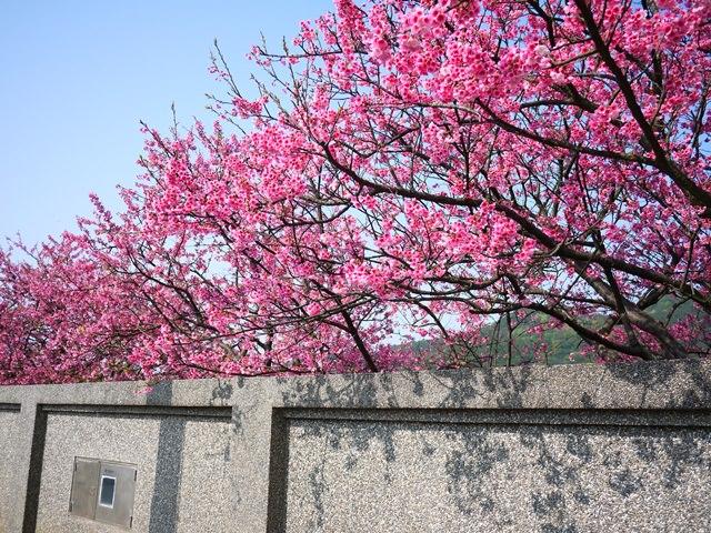 【台北.陽明山】- 北部春節出遊最佳賞櫻點。平菁街42巷 (2014/01/30花況)