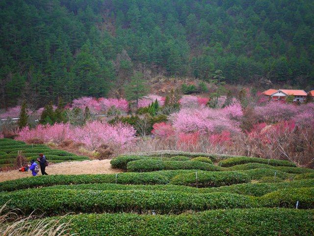 【台中.武陵】- 每年最大的賞櫻盛典.武陵農場櫻花祭(2014/02/16花況)