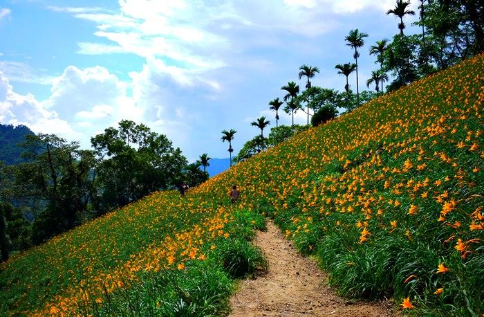 【台中.新社】- 不用去花東也有美麗的金黃地毯.沐心泉休閒農場金針花季(2014.05.24花況)