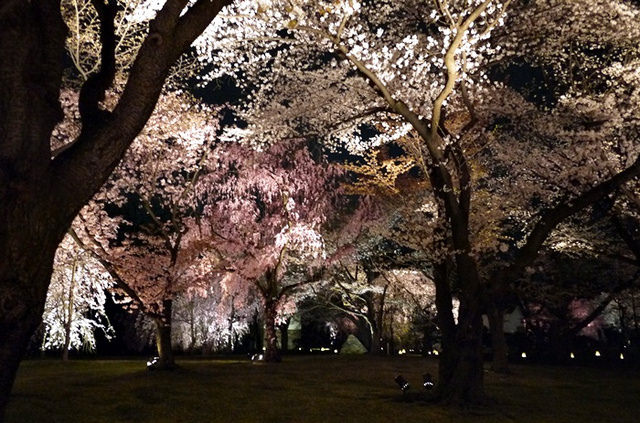 【13 春遊.櫻之關西 】- DAY2 走進奇幻櫻の森林 「二条城」賞夜櫻