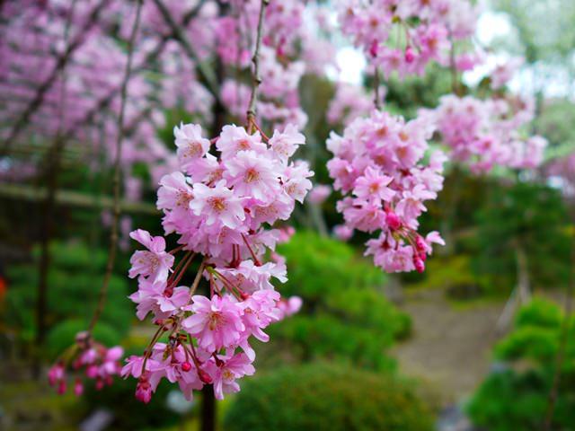 【13 春遊.櫻之關西 】- DAY2 平安神宮.令人著迷的紅枝垂櫻