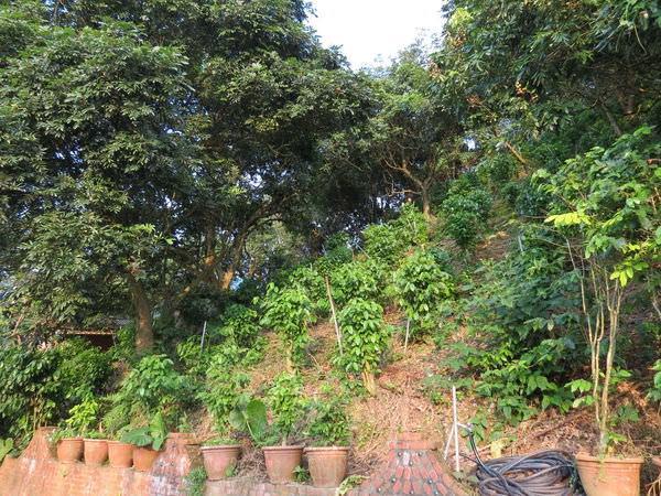 大鋤花間咖啡生態農場, 戶外環境, 山坡咖啡種植區