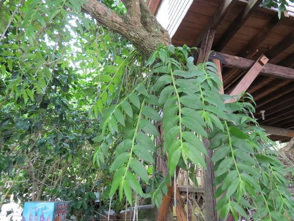 大鋤花間咖啡生態農場, 裝潢佈置, 寄生植物