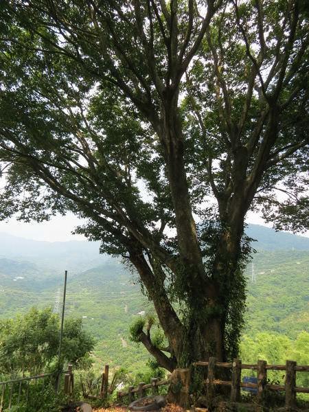 仙湖休閒農場, 生態, 百年朴樹