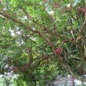 仙湖休閒農場, 生態, 野楊桃樹